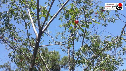 درخت میوه در دریاچه تفلیس